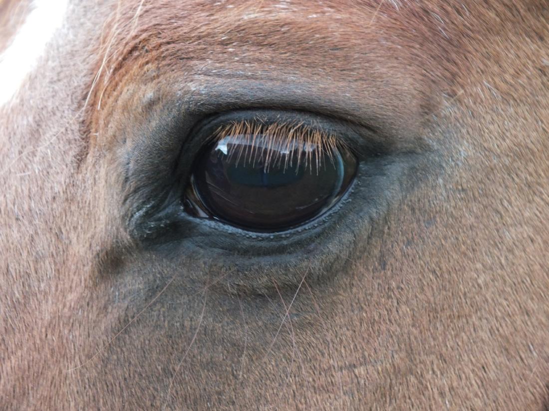 Coachen, paard, oog